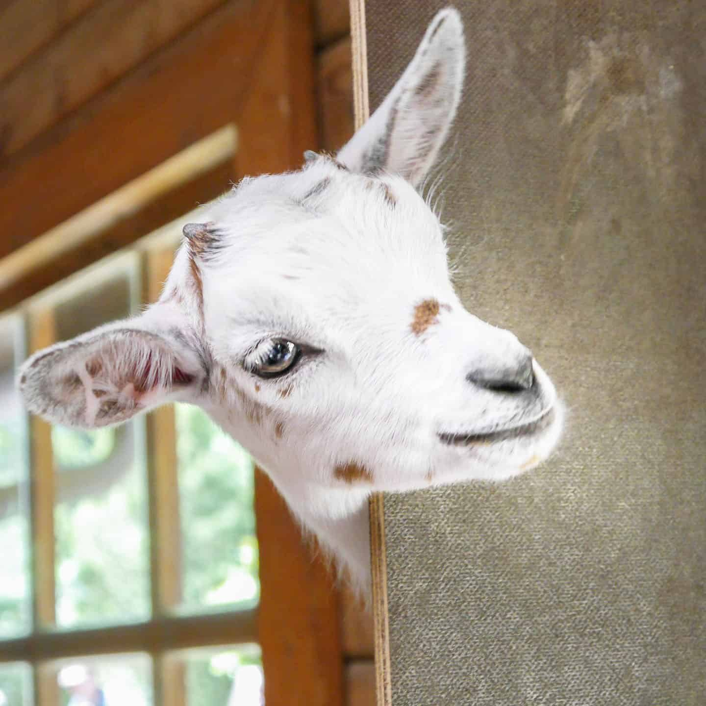 goat-2153622_1920-1